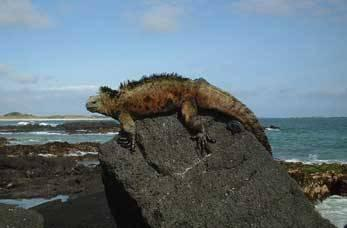 Reptile sitting on a rock in Galapagos