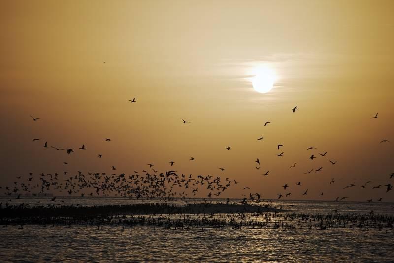 By courtesy of TCA Abu Dhabi United Arab Emirates, Sir Bani Yas Island - Cormorants