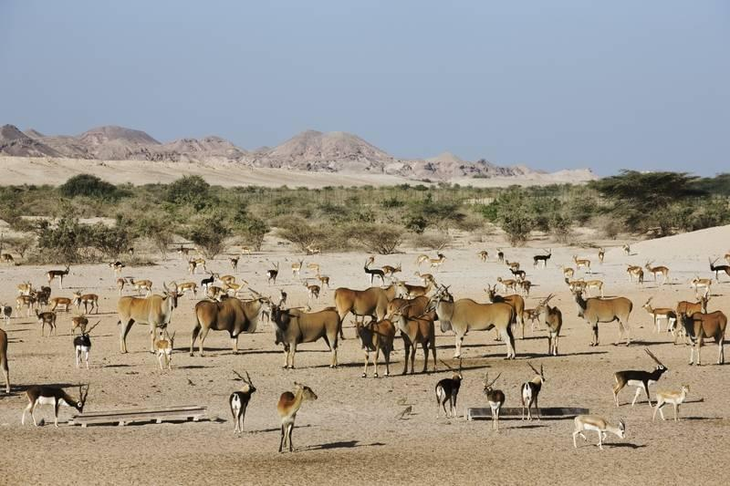 Free roaming animals on Sir Bani Yas Island